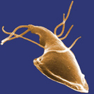 A single Giardia lablia microorganism as viewed under a microscope. Looking like cross between a snail and a squid, it has a large flattened head with a tapering body with tentacles along the sides and back.